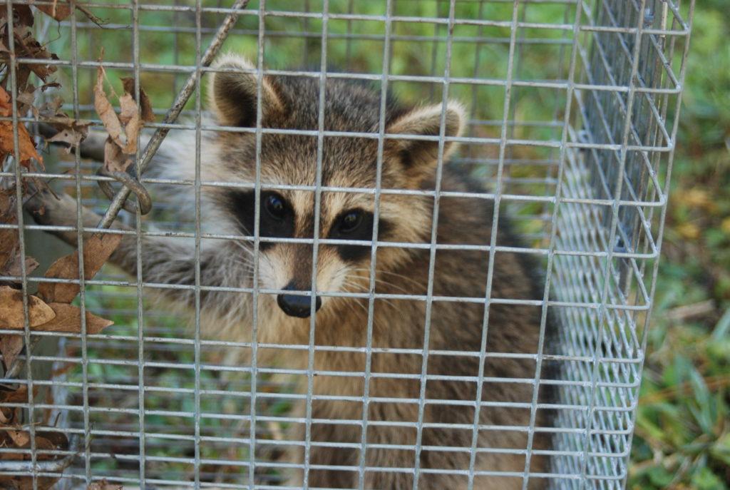 humane animal removal